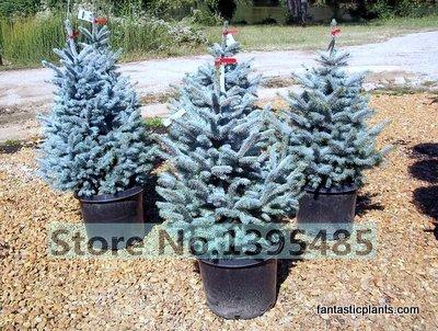 RETS 50 Qualität Fichte Pflanze Hausgarten Pflanze Evergreen Colorado Fichte Pa Baum Pflanze