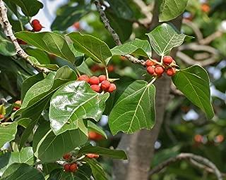 Ficus benghalensis   Indian Banyan Fig   500_Seeds