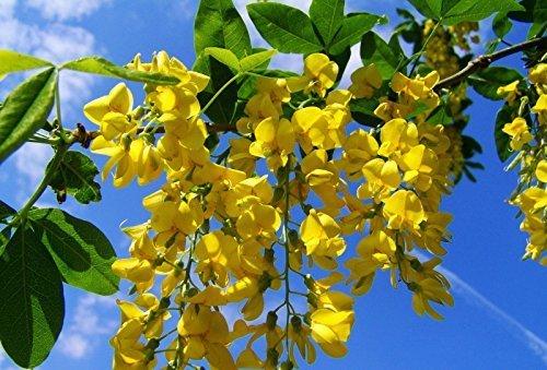 Edel-Goldregen Laburnum watereri 'Vossii' ca. 80cm, sehr kräftig Topf gewachsen