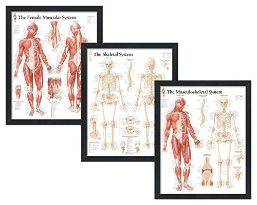 "Set of 3 Framed Medical Posters The Female Muscular System, The Skeletal System, The Musculoskeletal System 22""x28"" Wall Diagrams"