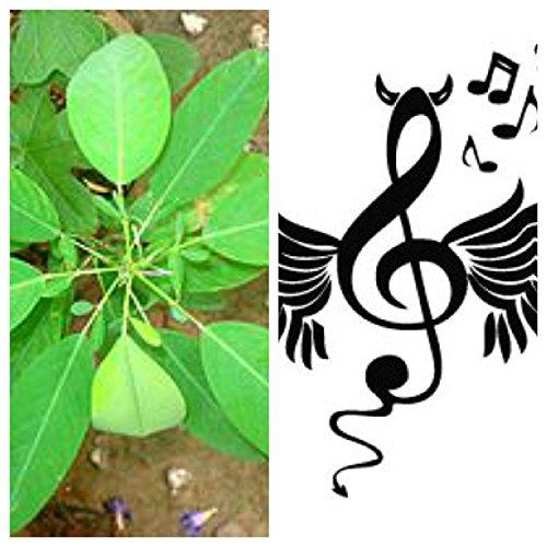 Desmodium gyrans, die TANZENDE Pflanze, Telegraphenpflanze, 15 exotische Samen