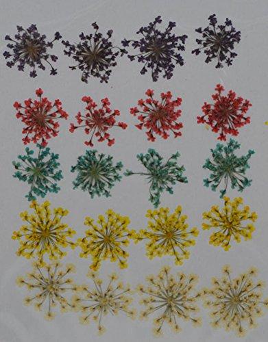 HANDI-KAFU viola rosso blu giallo regina Anna pizzo reale pressato fiori secchi