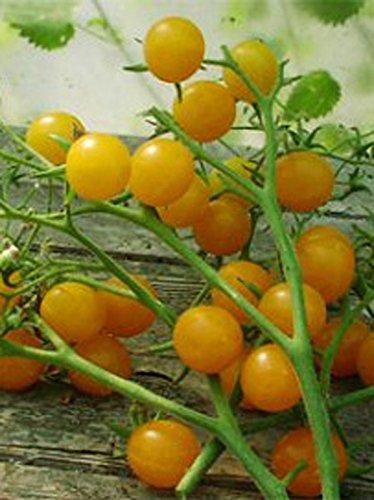 Gelbe ertragreiche Cocktailtomate 'Clementine' (Solanum lycopersicum) 10 Samen