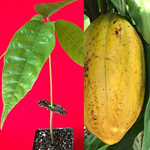 PLAT FIRM Germinazione dei Semi: Giallo Theobroma Cacao del Cioccolato del Cacao Frutta Tropicale Albero Pianta in Vaso 8-13'