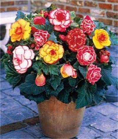 Livraison gratuite 100 Pcs rares Graines Begonia hybrida Voss lanternes Fleurs Begonia Graines décoratives chinoises Bonsai Garden Flowers 10