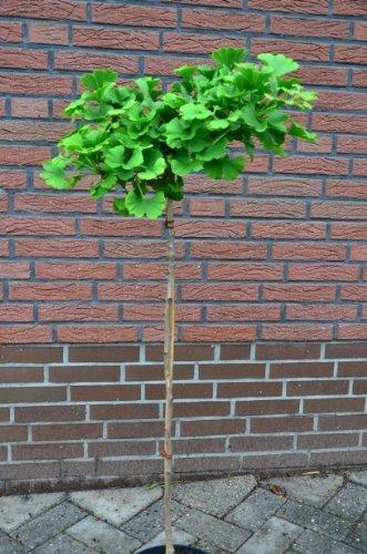 Fächerblattbaum Stämmchen Ginkgo biloba Mariken 80 cm Stammhöhe im 5 Liter Pflanzcontainer
