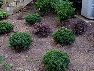 Bareroot Soft Touch Dwarf Japanese Holly 3 Gallon Pot Deliveries to CA, OR, WA, AZ, UT, ID, NV, MT, ND, SD Will Be Shipped Bareroot Get 1#NLN01YN