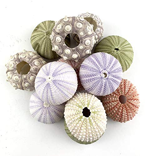 """Worlds Assorted Natural Sea Urchins for Air Plants,Craft and Decorations 12PC(1-1/4""""-2-1/4""""Inch)"""