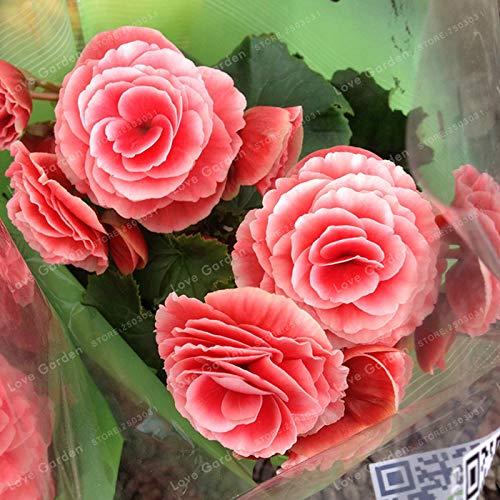 SVI frais 20 Pcs fleurs Begonia semences pour la lumière rouge