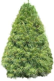 Homegrown Pine Tree Seeds, 100 Seeds, White Pine Tree