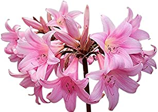 Naked Ladies - 5 Bare Root Bulbs of Amaryllis Belladonna - Beautiful Amaryllis for Outside