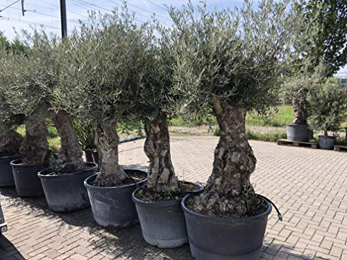 Olivenbaum Olea Europea winterhart, stammumfang 100/120cm, knorriger alte Stamm, Höhe ca.260cm