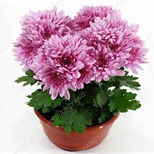100PCS arc-en-Chrysanthème Graines de fleurs d'ornement Bonsai Rare Nouvelle couleur Choisir Plus Chrysanthème Seeds Flower Garden Plantes Gris foncé