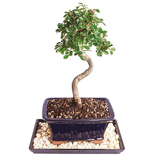 Brussel's Live Chinese Elm Outdoor Bonsai Tree - 5 Years Old; 10' to 14' Tall with Decorative Container, Humidity Tray & Deco Rocks
