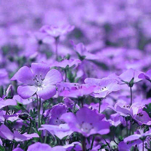Graines Haute survie Rate100Pcs Violet Linacées Fleur Aubrieta Couvre-sol SeedsAndPlants Courtyard Bureau Décoration