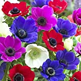 10 Anemone'De Caen' Flower Bulbs for Planting | Multicolor Mix | Ships from Iowa, USA | Flower Bulbs for Planting