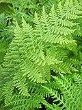 Frauenfarn - Gemeiner Waldfarn - Athyrium filix femina