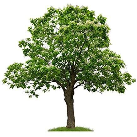 Trompetenbaum/Bienenfreundlich/Tabebuia impetiginosa / 10 Samen