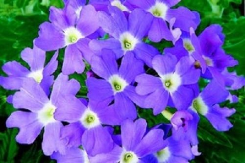 50 graines de verveine Obsession Light Blue Eye avec des graines Verveine