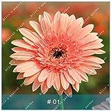 geoponics semi: zlking 100 pz gerbera varietà di colori bonsaïpianta famiglia flower garden facile da coltivare regalo bellissimo: 1