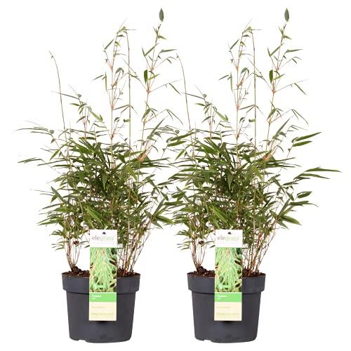 Mein schöner Garten Bambus Fargesia Rufa Mittel 2er-Set – für Garten Terrasse und Balkon – Gartenbambus winterhart – Echter Heckenbambus als Sichtschutz - Liefergröße inklusive Topf ca. 60 cm