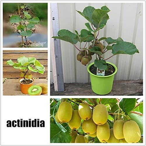 swift 100 St¨¹ck Obstsamen Kiwi Samen Mini Bonsai Hausgarten Obst B?ume Outdoor Obst Samen f¨¹r Garten Pflanzen