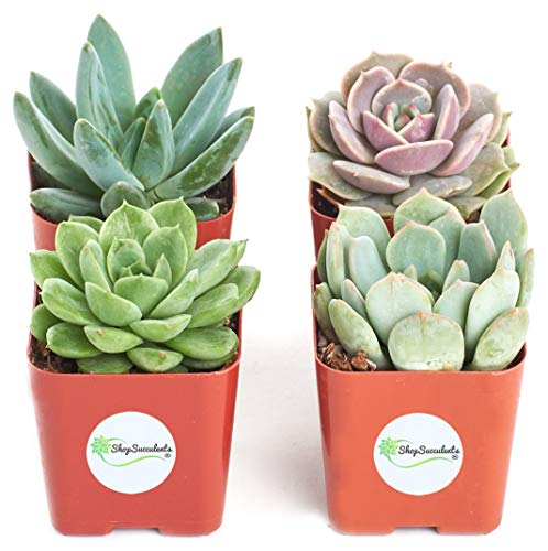 Shop Succulents Live Radiant Rosette Collection, | 32-Pack