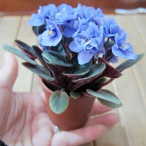100pcs couleurs mélangées Mini Violet Graines, Graines violettes africaines, plantes Mini jardin Violet Fleurs vivaces herbes Matthiola Incana Seed 3