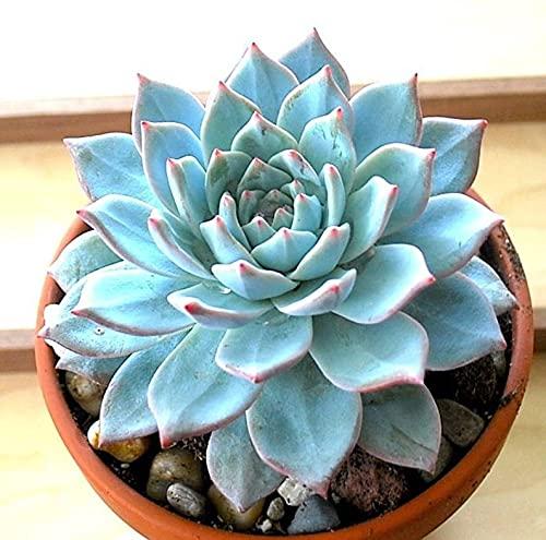 Echeveria Blue Bird 3 Inch Live Succulent