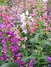 50+ PENSTEMON Rondo Mix Flower Seeds/BARBATUS / Hummingbirds/Perennial
