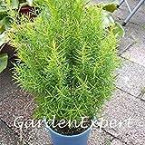 SEEDS PLAT会社-30个 オーストラリアの木の種メラルーカAlternifolia種子花盆栽工場ホームガーデンプラントDIY