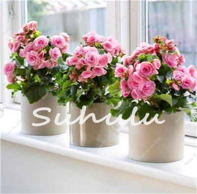 100 Pcs Bonsai Graines Begonia hybrida Voss Fleurs lanternes Begonia Malus Spectabilis décoratifs chinois Bonsai Fleurs Jardin 2