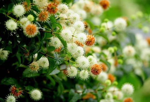 50 + Button Bush / HONEYB (Cephalanthus occidentalis)种子观赏灌木I75