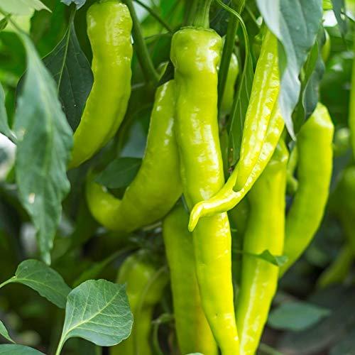 Samen für ca. 15 Pflanzen Beros Paprika – milde Sorte, ertragreich