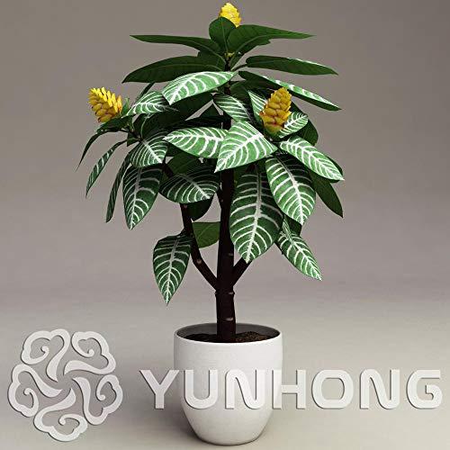 Aphelandra Squarossa - 20 Samen - Sehr schöne Zimmerpflanze