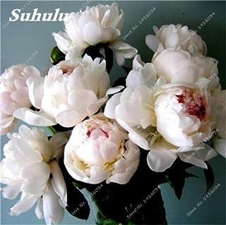 comprar comparacion 10 Semillas piezas de peonía, al aire libre en maceta de siembra, semillas de Bonsai Flor, la variedad completa, fácil de ...