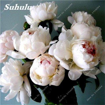 10 Semillas piezas de peonía, al aire libre en maceta de siembra, semillas de Bonsai Flor, la variedad completa, fácil de cultivar, ornamentales-plantas para jardín 1