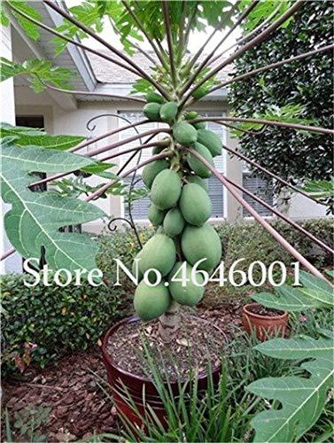 Bloom Green Co. 30 pcs doux Maradol Papaye bonsaïs d'extérieur comestible Tropical Juicy Fruit Jardin Heirloom Jardin Bio nain plantes d'arbres fruitiers: 10