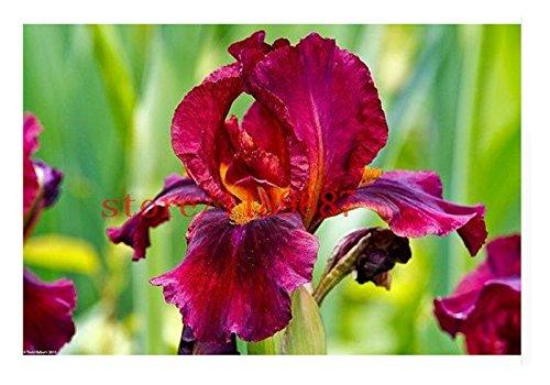 1bag = 30 pcs Iris Graines, fleurs populaires de jardin de plantes vivaces, fleurs coupées magnifique graines rares de fleurs pour orchidées de plantation de jardin à domicile