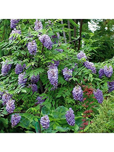 2 x Wisteria Climbing Plant 'Amethyst Falls' - Blue Wisteria Plants in 9cm Pots Ready to Plant