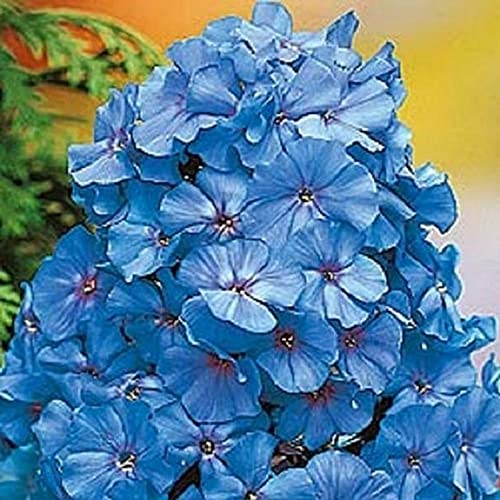 50 Light Blue Phlọx Sẹẹds