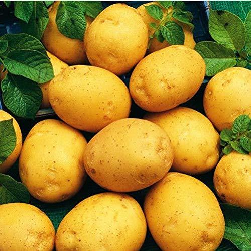 ScoutSeed 100 STÜCKE Süßkartoffeln Samen Kartoffel Gemüsesamen Lecker Pflanzenhaus Garten