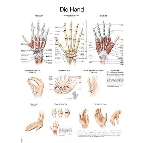 """Erler-Zimmer Lehrtafel """"Die Hand"""", deutsch/englisch, 50x70cm, Kunstdruckpapier"""