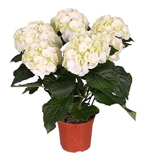 Pflanzen Kölle Hortensie, Hydrangea macrophylla 'Schneeball', weiß, 4-6 Dolden, Gesamthöhe ca. 35 cm