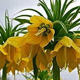Bornbayb 100 Pcs Jaune Couronne Impériale Graines Fritillaria imperialis Lutea Graines Maison Jardin Décor