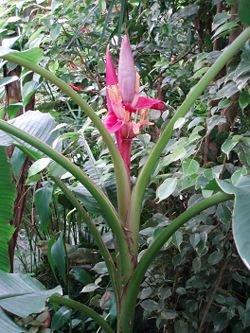 Musa acuminata 10 Samen Bananen Fruchtbanane Bananensamen