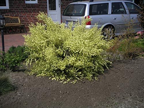 Samen B2024 10x Cytisus multiflorus Besenginster Garten Pflanzen
