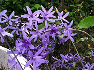 Petrea Volubilis Queen's Wreath Vine Seeds #US01 (10)
