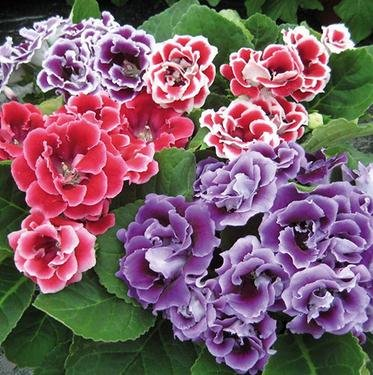 2016 Promotion Hot Sale Très Graines Facile Sementes Gloxinia (mélange) Flower Pot Planters Garden Bonsai Seed 20 particules / Lot