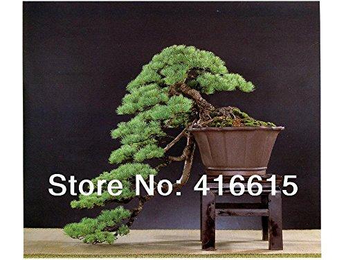 30 Pièces Cinq-Leaved Pine Bonsai Arbre Graines, Millennium plantes en pot paysage japonais Cinq Needle Pine Bonsai Miniascape Seed